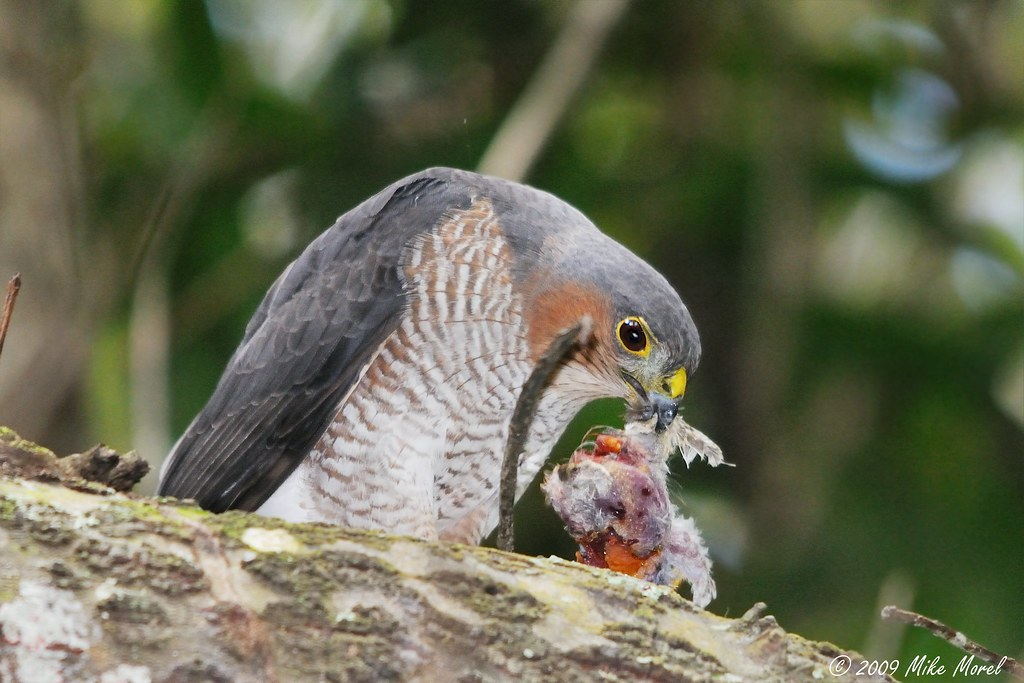 Sharp-shinned Hawk eating prey | Scientific name: Accipiter … | Flickr