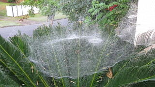Just can't help being morbidly fascinated by the spiders in Brisbane | by Sarah M Stewart