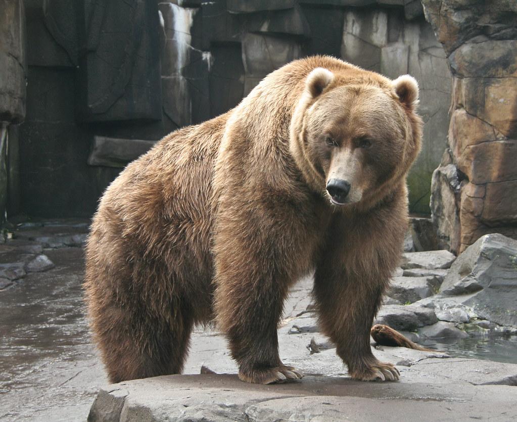 Bear | Quaerere Deum | Sharon Mollerus | Flickr