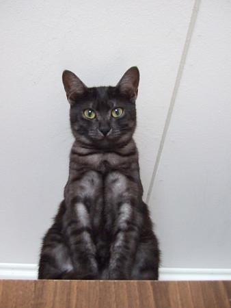 henri chat noir