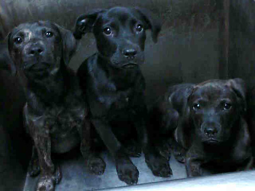 dark brindle pit bull mix puppies
