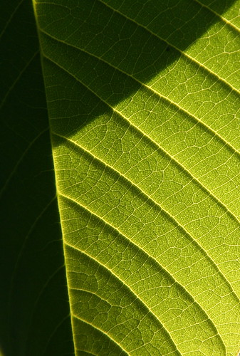 Leaf Light | by rarefruitfan