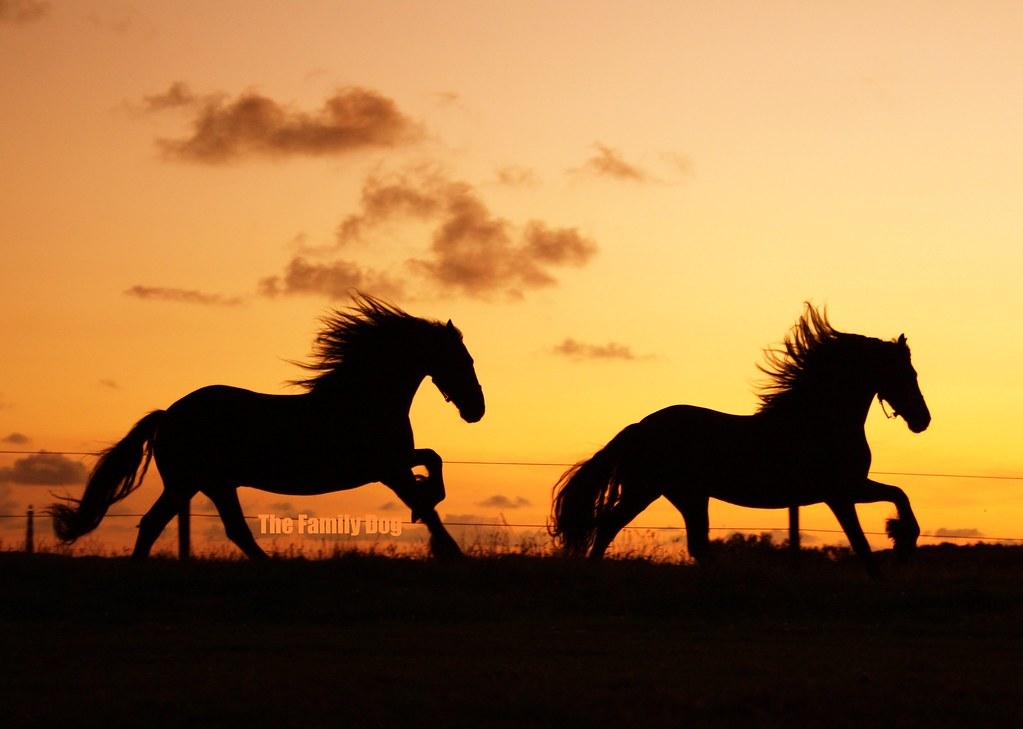 Frisian Horses @ sunse...