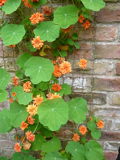 Double Nasturtium | by brianpettinger