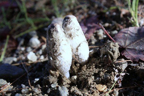 Shaggy Ink Cap Mushrooms