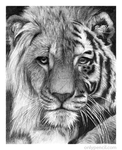 Tiger lion hybrid pencil drawing by onlypencil