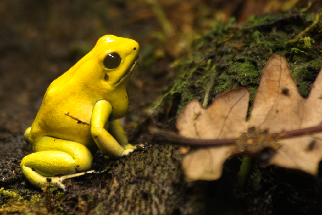 Yellow poison dart fro...