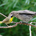 Common Yellowthroat with Juvenile Cowbird 1