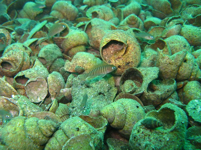 Lamprologus multifasciatus 6 fish here can you find them for Where can i buy fish