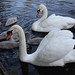 A pair of mute swans and their cygnets on the Heriot-Watt University lake.