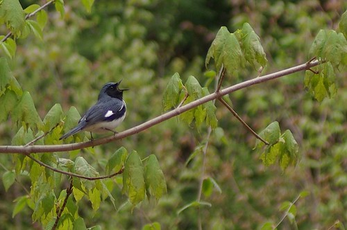 black throated blue warbler | by Oregon State University