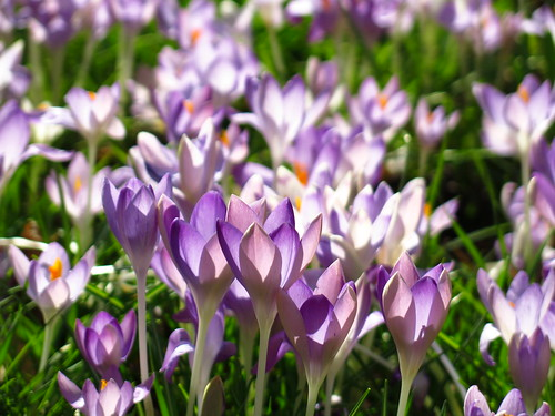Crocuses at Myddelton House Gardens