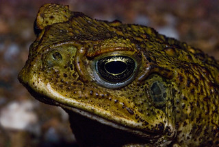 Cane toads in the Northern Territory | by rob's lensonlife