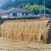 kyoto :: drying • rice