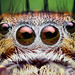 Eyes of an Adult Female Phidippus putnami Jumping Spider
