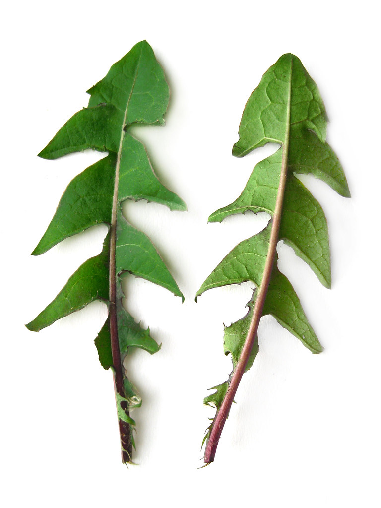 Taraxacum Officinale Dandelion Leaves This Plant Can