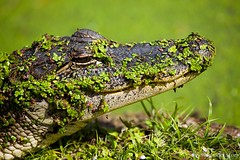 camouflage alligator... | by asim choudhri