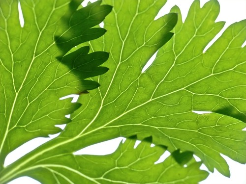 The Veins of Cilantro | by Ingrid Taylar