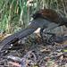 Superb Lyre Bird 1