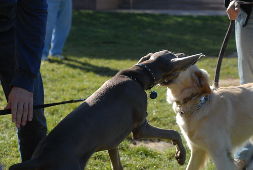 Dogs Fighting | by holisticmonkey