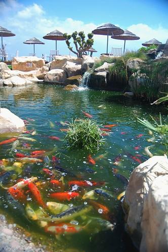 Koi carp pool in protaras one of the pools full of koi for Pool of koi