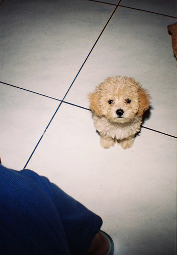 the cutest toy poodle puppy | by FinickyMe