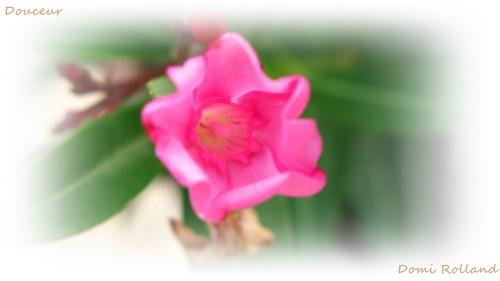 douceur laurier rose c 39 est un arbuste d 39 environ 2m de flickr. Black Bedroom Furniture Sets. Home Design Ideas