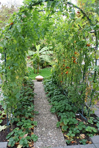 Bad Dürkheim, Tomatenlaube in einem Privatgarten (tomato pergola in a private garden) | by HEN-Magonza