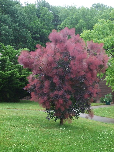 A Purple Smoke Tree A Favorite Of Ours Leslie Wood