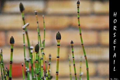 Horsetails | by ...-Wink-...