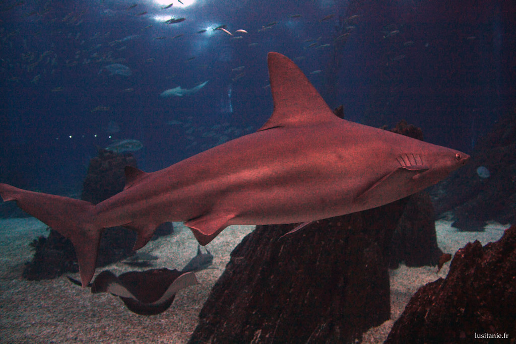 Un des requins de l'Oceanario