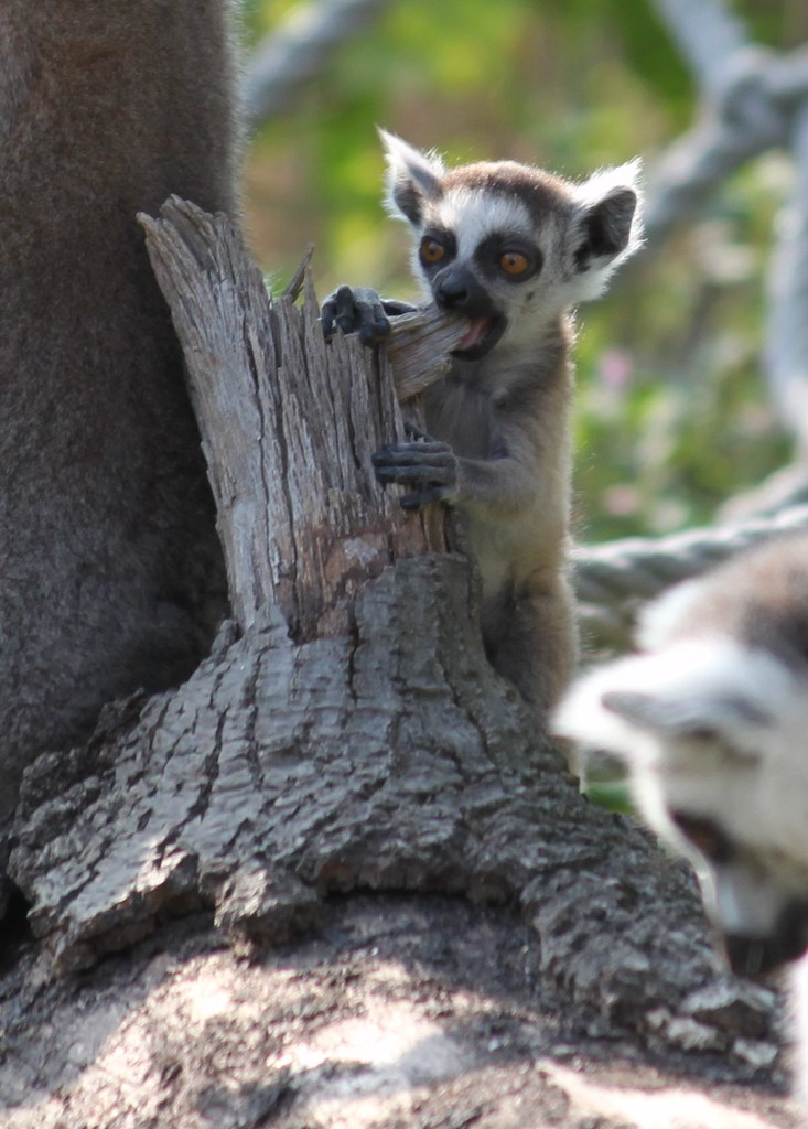Image Result For Ring Tailed Lemur