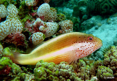 Blackside hawkfish, Cebu Philippines | by _takau99