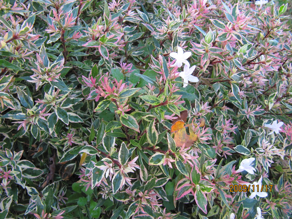 Abelia 39 confetti 39 this semi evergreen cultivar is a for Arboles de jardin de hoja perenne