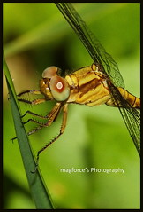 Dragonfly: Crocothemis servilia | by magforce