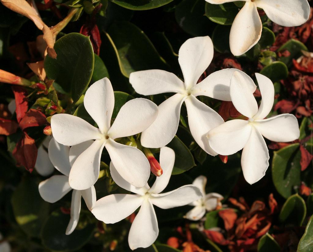 White beach flowers santa monica sharon mollerus flickr white beach flowers santa monica by sharon mollerus mightylinksfo