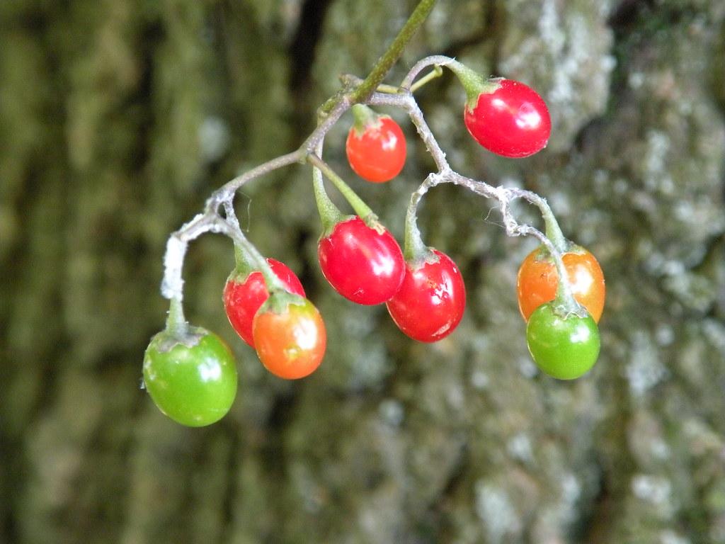 colorful wild tomato |...