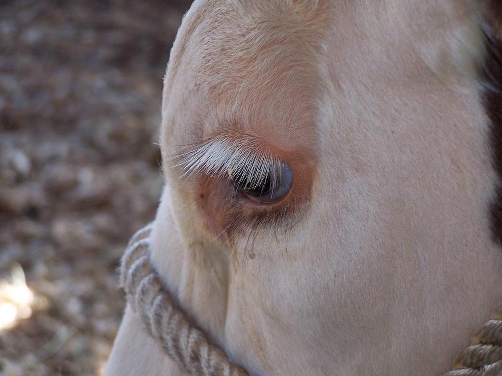 Cow Eyelashes Joan Cacciatore Mazza Flickr