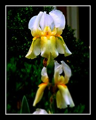 unidentified iris | by The Gifted Photographer