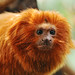 Another Golden Lion Tamarin