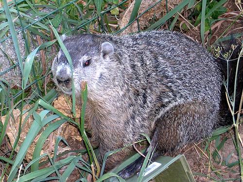 Groundhog in the Garden   This Ohio Groundhog dug under ...