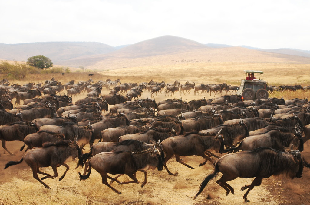 stampede we were caught in the middle of a wildebeest stam flickr