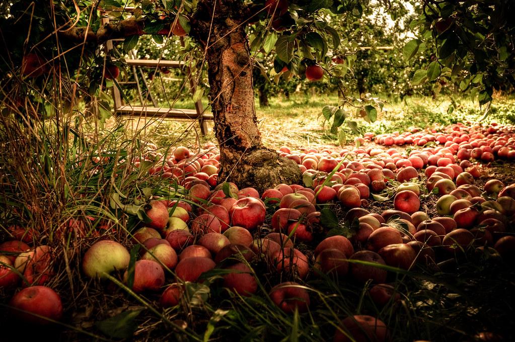 Осенние обои на рабочий стол яблоки