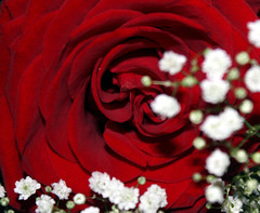 Red Rose | by Sharon.Thanks for stoppin by!
