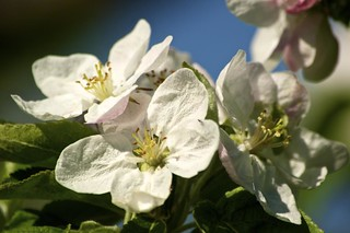 Apple Blossom Closeup | by Grant is a Grant