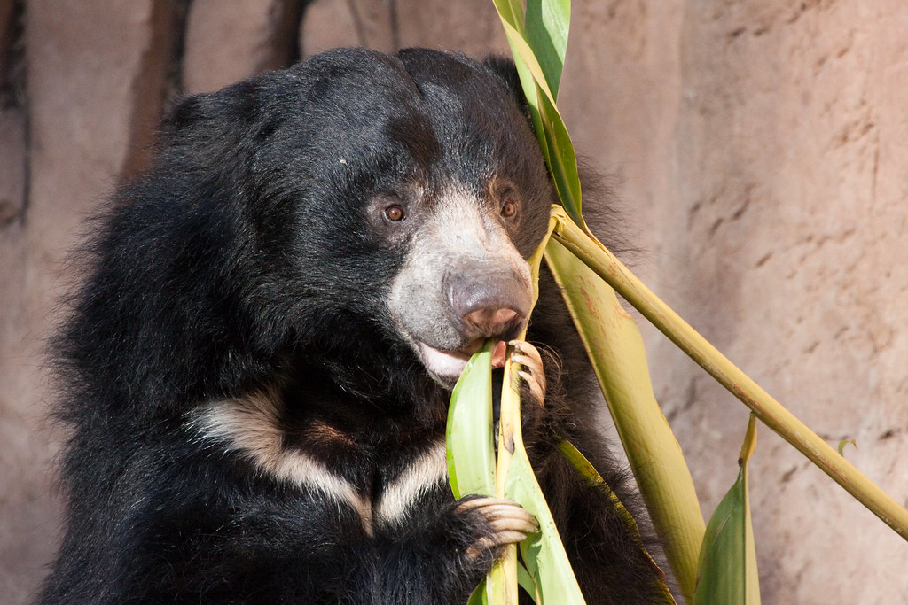 Sloth Bear eating some shrubs | it was whipping the plants ...