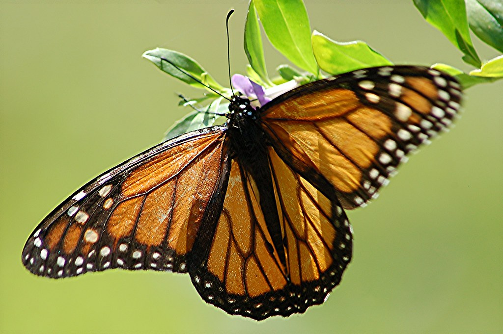 Transparent Wings Of Monarch Butterfly Sipping Nectar From