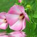 A Pink Dip