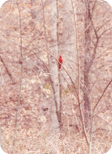 archive: february 90; woodstock, connecticut: red cardinal | by the incredible how (intermitten.t)