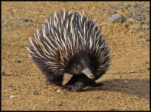 Echidna | by Christine's Backyard -Away for a while